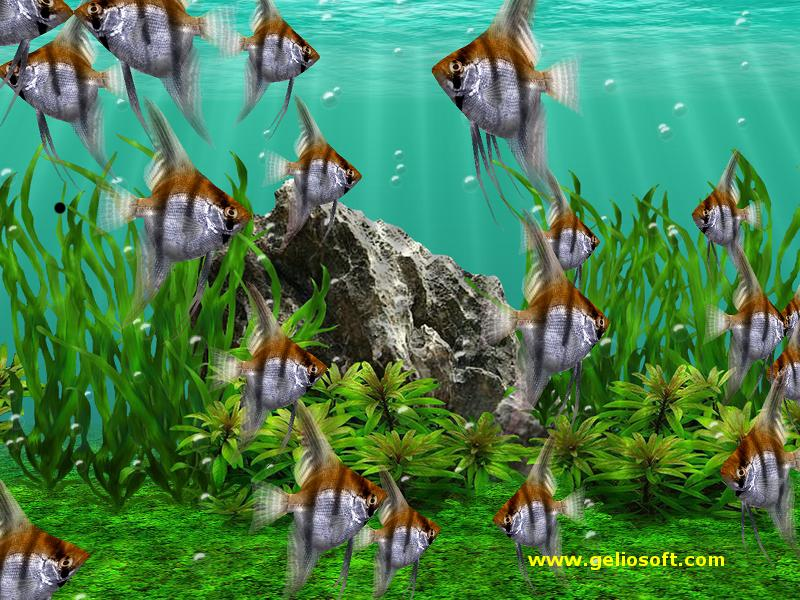 Wallpaper of a school of angelfish moving in unison.
