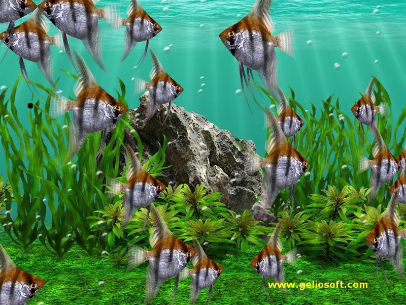Moving Angelfish Screensaver And Free Wallpaper