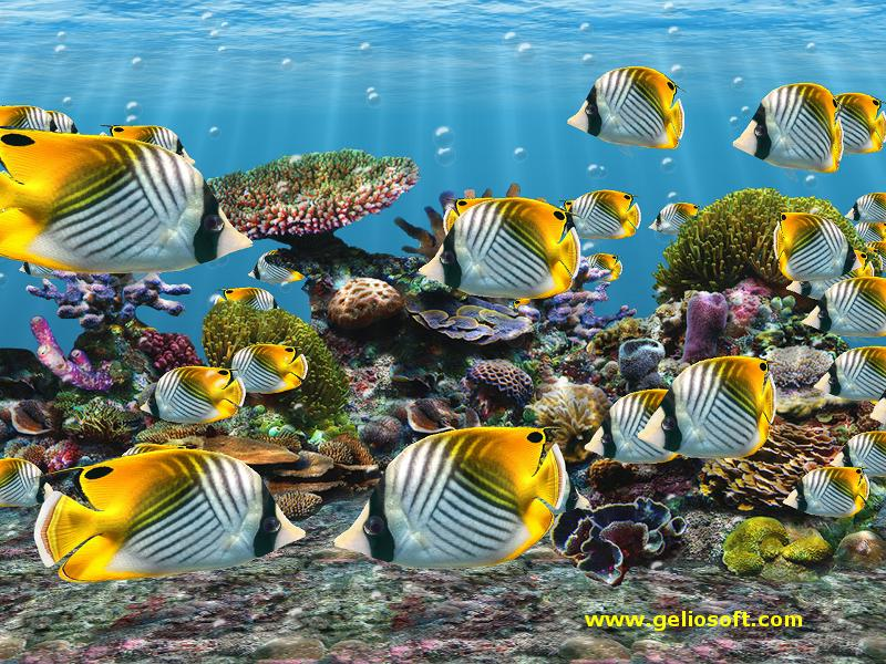 Auriga butterflyfish screensaver and free wallpaper for Swimming fish screensaver