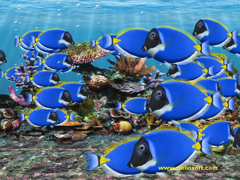 Moving blue tang fish screensaver and free wallpaper for Moving fish screensaver