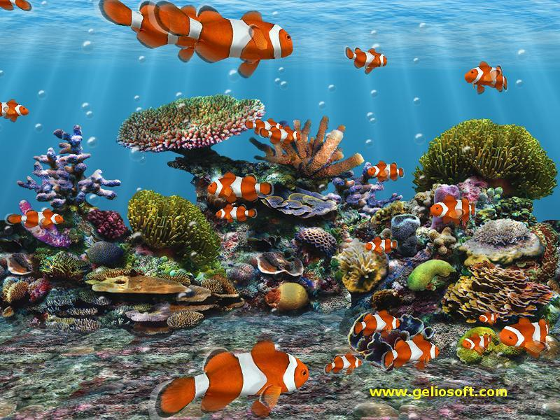 Download Clown Fish Wallpaper (800X600 size)
