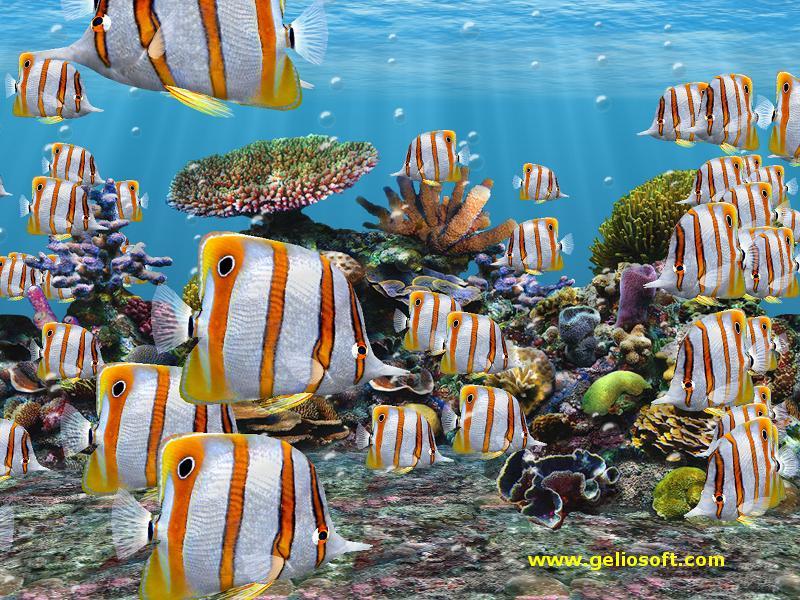marine aquarium wallpaper. Click Here to Download Copperbanded Butterfly Fish Wallpaper (800X600 size)