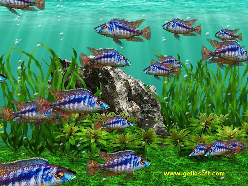 Moving mylochromis lateristriga mchuse fish screensaver and free wallpaper - Fish tank screensaver pc free ...