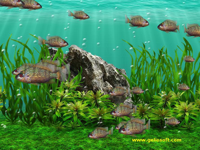 Moving Oreochromis Tanganicae Fish Screensaver And Free Wallpaper