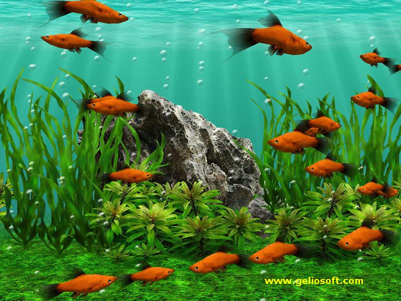 3D Screensaver and Wallpaper with Red Platy Fish
