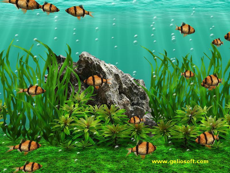 Moving Tiger Barb Fish Screensaverand Free Wallpaper
