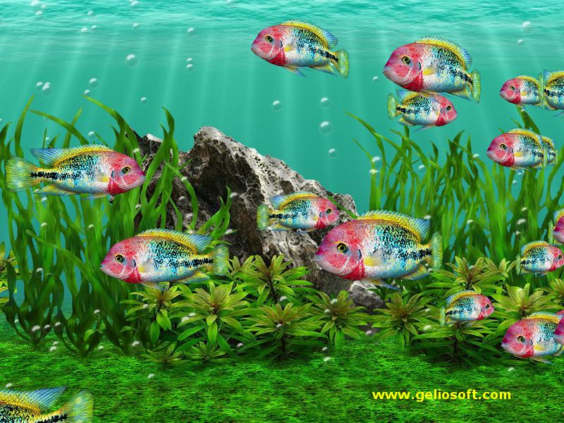 3d fish tank screensaver with moving vieja fenestratus fish for Moving fish wallpaper